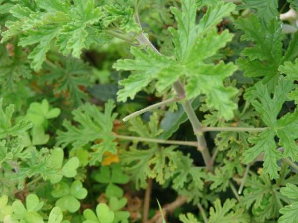 Pelargonium graveolens - герань использованная мной в рецепте.  В кулинарных целях может использоваться любой вид герани.   Читала, что знатоки советуют перед тем, как начать готовить понюхать листик и выбрать наиболее приятный запах. Очень часто в рецептах советуют использовать розовую герань (Пеларгониум розовый - Pelargonium roseum).